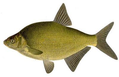 Braiseren van vis